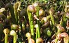 Pitcher plants again.